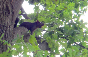 all-black squirrel in Chicago area